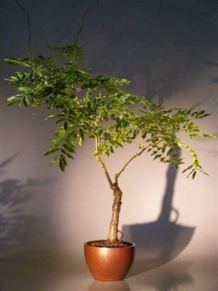 Flowering Japanese Wisteria Bonsai Tree For Sale (wisteria floribunda)