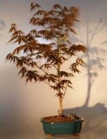 Japanese Red Maple Bonsai Tree For Sale - Large (Acer Palmatum Atropurpurea)