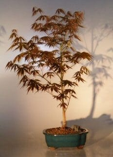 Japanese Red Maple Bonsai Tree For Sale - Large (Acer Palmatum Atropurpurea)