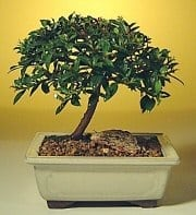 Flowering Brush Cherry Bonsai Tree For Sale - Small (eugenia myrtifolia)