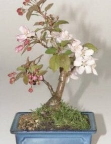 Flowering Crabapple Bonsai Tree For Sale (Malus Sargenti)