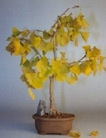 Ginkgo Bonsai Tree For Sale (ginkgo Biloba)