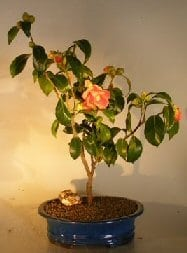 Flowering Camellia Sasanqua Bonsai Tree For Sale (Shishi Gashira)
