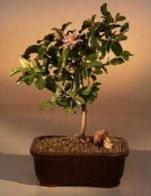 Flowering Lavender Star Flower Bonsai Tree For Sale - Medium (Grewia Occidentalis)