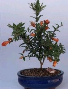 Flowering Dwarf Pomegranate Bonsai Tree For Sale - Small (Punica Granatum (nana))
