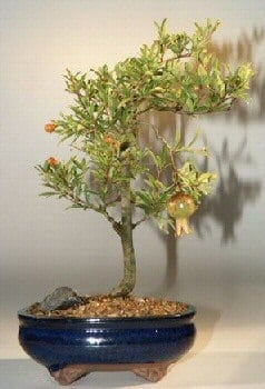 Flowering Dwarf Pomegranate Bonsai Tree For Sale Medium Punica Granatum Bonsai Tree Gardener