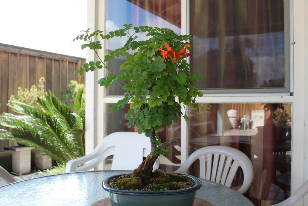Cape Honeysuckle Bonsai Tree