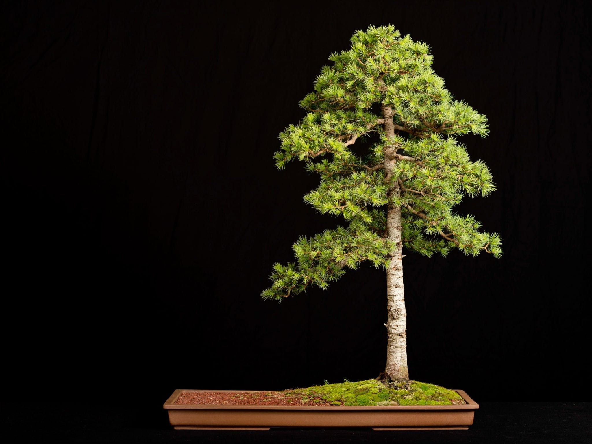 Cedar Bonsai Tree