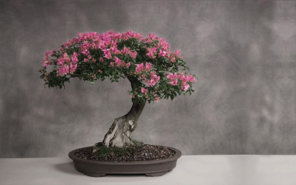 Cherry blossom bonsai trees bonsai tree gardener cherry blossom bonsai tree mightylinksfo