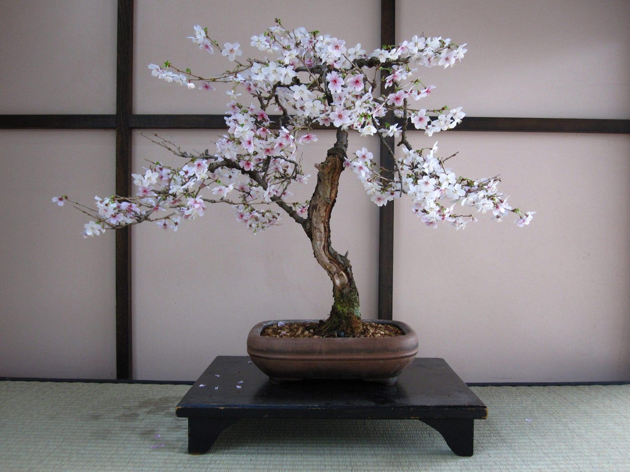 Cherry Bonsai Tree Care Guide Prunux X Yodoensis Bonsai Tree Gardener