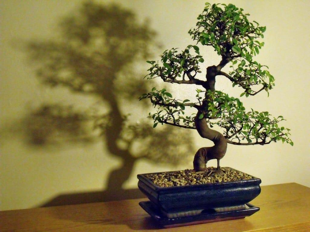 Chinese Elm Bonsai Tree Care Guide Ulmus Parvifolia