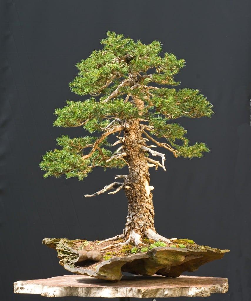Coniferous Bonsai Trees Bonsai Tree Gardener