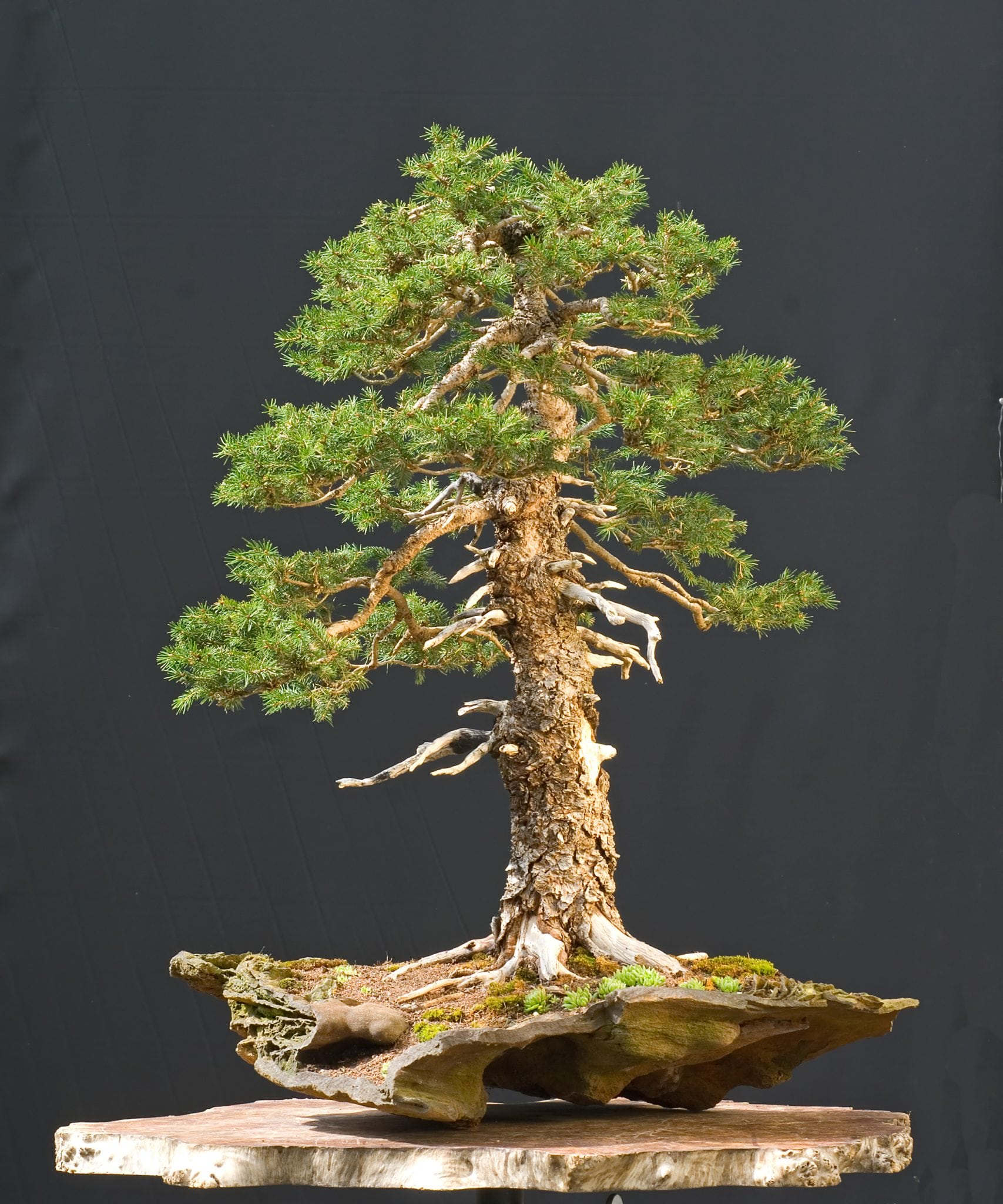 coniferous bonsai trees bonsai tree