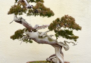 Coolest Looking Bonsai Tree