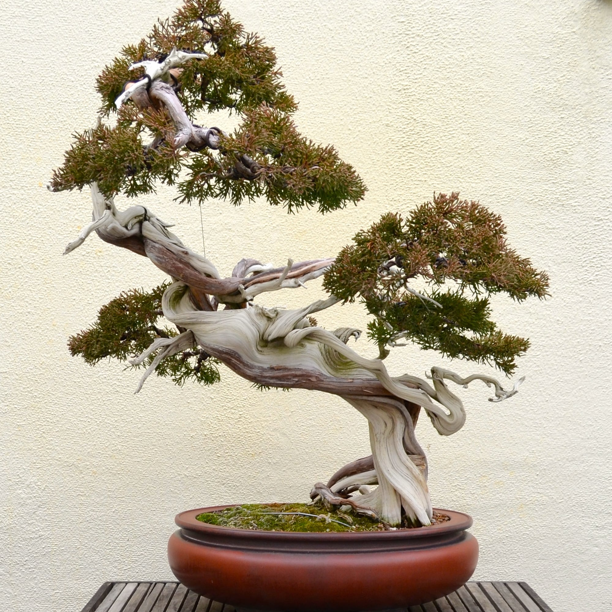 10 coolest looking bonsai trees