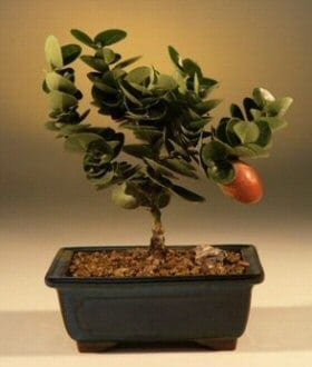 Flowering Dwarf Plum Bonsai Tree For Sale - Small (carissa macrocarpa)