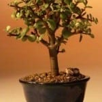 Baby Jade Bonsai Tree For Sale - Small (Portulacaria Afra)
