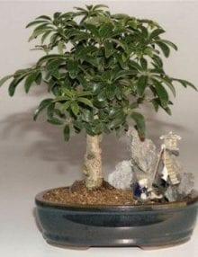 Hawaiian Umbrella Bonsai Tree For Sale Stone Landscape Scene (Arboricola Schefflera 'Luseanne')