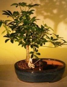 Hawaiian Umbrella Bonsai Tree For Sale Water/Land Container - Medium (arboricola schefflera 'luseanne')