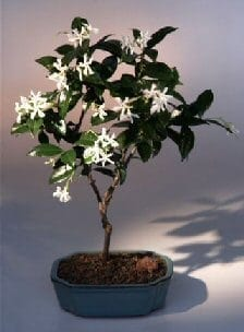 Flowering White Jasmine Bonsai Tree For Sale (trachelospermum jasminoides)