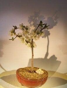 Japanese Flowering Quince Bonsai Tree For Sale (chaenomles 'toyo-nishiki')