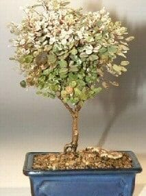 Snowbush Bonsai Tree For Sale (breynia disticha)