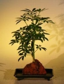 Hawaiian Umbrella Bonsai Tree For Sale - Small - Gold - In Lava Rock (arboricola schefflera 'luseanne' variegata)