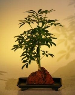 Hawaiian Umbrella Bonsai Tree For Sale Small Gold In Lava Rock Arboricola Schefflera Luseanne Variegata Bonsai Tree Gardener
