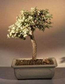 Baby Jade Medium Bonsai Tree For Sale - Variegated (portulacaria afra variegata)