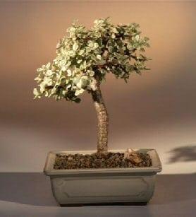 Baby Jade Medium Bonsai Tree For Sale - Variegated (portulacaria afra variegata)