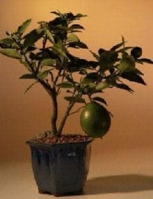 Flowering Lemon Bonsai Tree For Sale (meyer lemon)