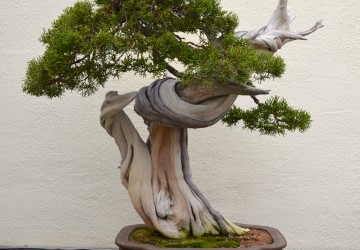 Deadwood Bonsai Technique