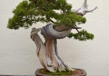 Deadwood Bonsai Technique