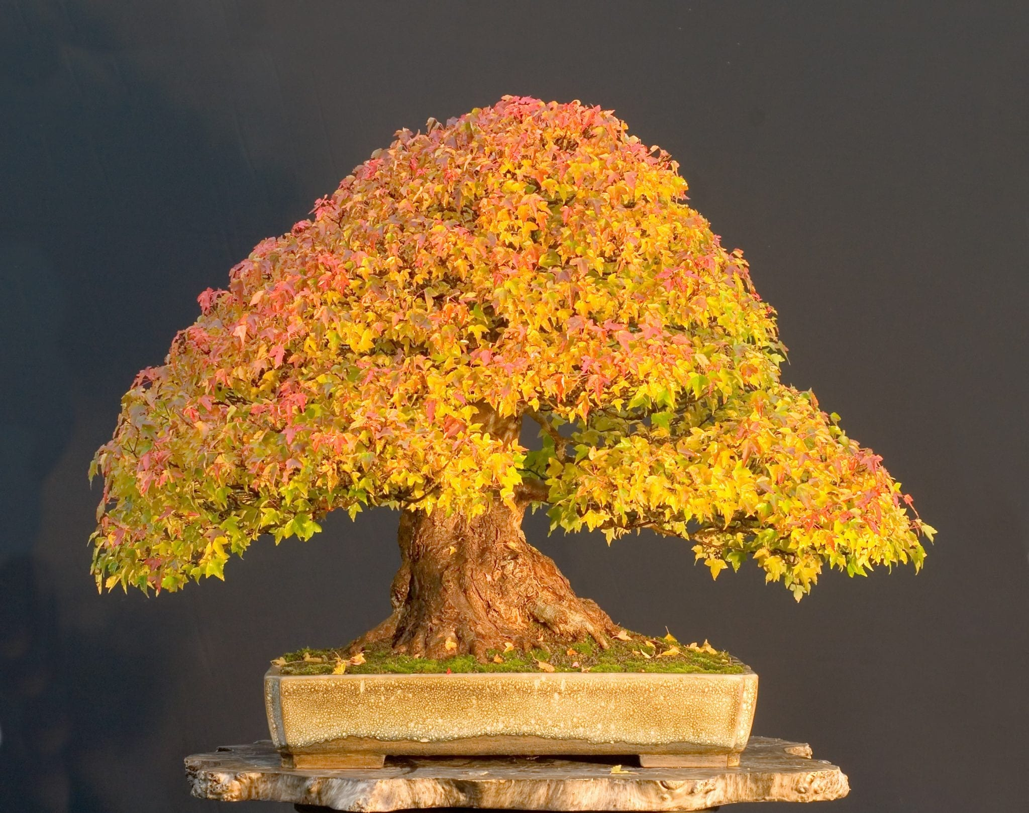 Deciduous Bonsai Tree