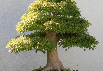Discount Bonsai Trees