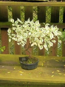 Dogwood Bonsai Tree