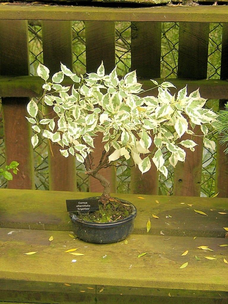 Dogwood Bonsai Tree
