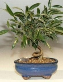 Oriental Ficus Bonsai Tree For Sale - Small Coiled Trunk (ficus benjamina 'orientalis')