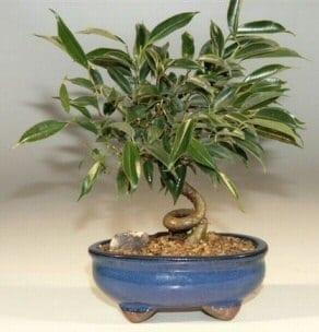 Oriental Ficus Bonsai Tree For Sale - Small Coiled Trunk (ficus benjamina 'orientalis')