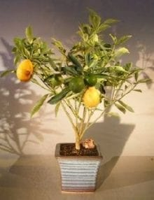 Kumquat Bonsai Tree For Sale - Variegated (fortunella japonica 'marumi')