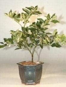 Limequat Bonsai Tree For Sale (limequat eustis)