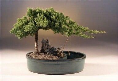 Juniper Bonsai Tree For Sale in a Water Bonsai Pot - Large (juniper procumbens nana)