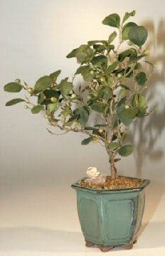 Mistletoe Fig Bonsai Tree For Sale (ficus diversifolia)