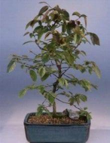 Rock Hornbeam Bonsai Tree For Sale (carpinus turczaninovii)