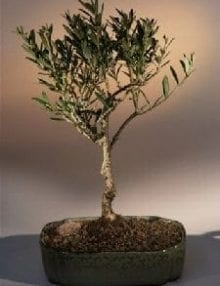 Olive Bonsai Tree For Sale (olea europaea little ollie)