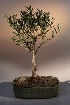 Olive Bonsai Tree For Sale Olea Europaea Little Ollie Bonsai Tree Gardener