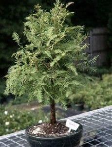 Redwood Bonsai Tree For Sale (metasequoia glyptostroboides)