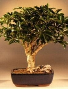 Hawaiian Umbrella Bonsai Tree For Sale - Large (arboricola schefflera 'luseanne)