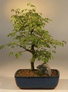 Flowering Brazilian Raintree Bonsai Tree For Sale Large (pithecellobium tortum)
