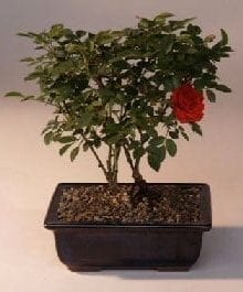 Flowering Mini Rose Tiny Red Bonsai Tree For Sale